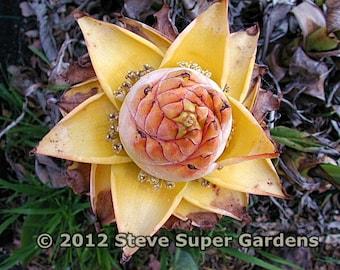 Musella lasiocarpa ( Chinese Golden Lotus Banana)- RARE and hardy