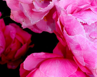 Coral Charms Peonies Photograph
