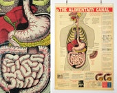 Vintage 1940's Anatomical Wall Chart  - Digestive System
