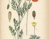 Antique 1905 Botanical Page papaver dubium (Long-headed Poppy)