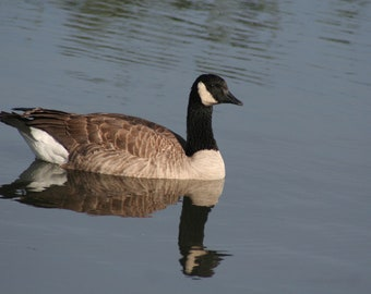 Canada goose: 5 x 7 photograph CHARITY DONATION