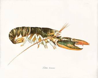 Fish Art Print - 8 x 10 - Lobster