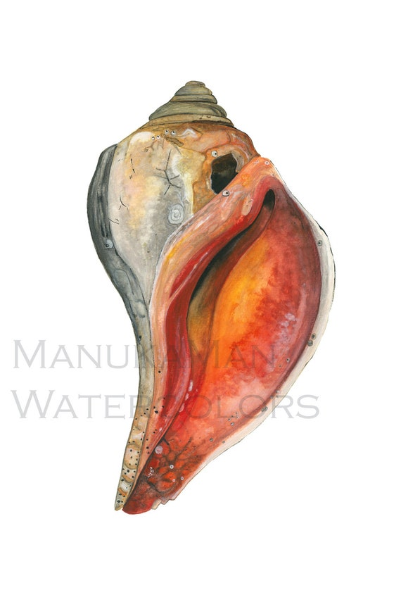 Print of a knobbed Whelk from an original watercolor painting by Damon Crook (11 x 14)