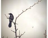 Square Format Color Photo Fine Art Print Redwing Blackbird on Branch
