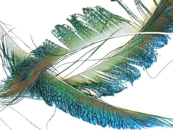 10 PEACOCK sword feathers halloween cruelty free