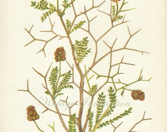 Vintage Botanical Print 1960s - Poterium Spinosum flowers wall art decor -  lithograph bookplate illustration