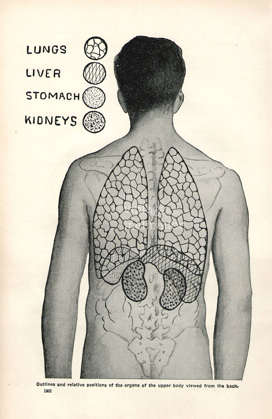 1926 Human Anatomy Print Organs Lungs Heart Stomach Kidneys