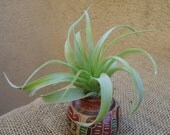 Tillandsia Brachycaulos Green Air Plants