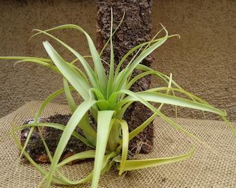 Tillandsia Polystachia Large Form Air plants