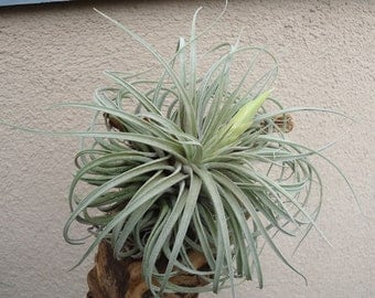 Large Tillandsia Oaxacana Air Plants