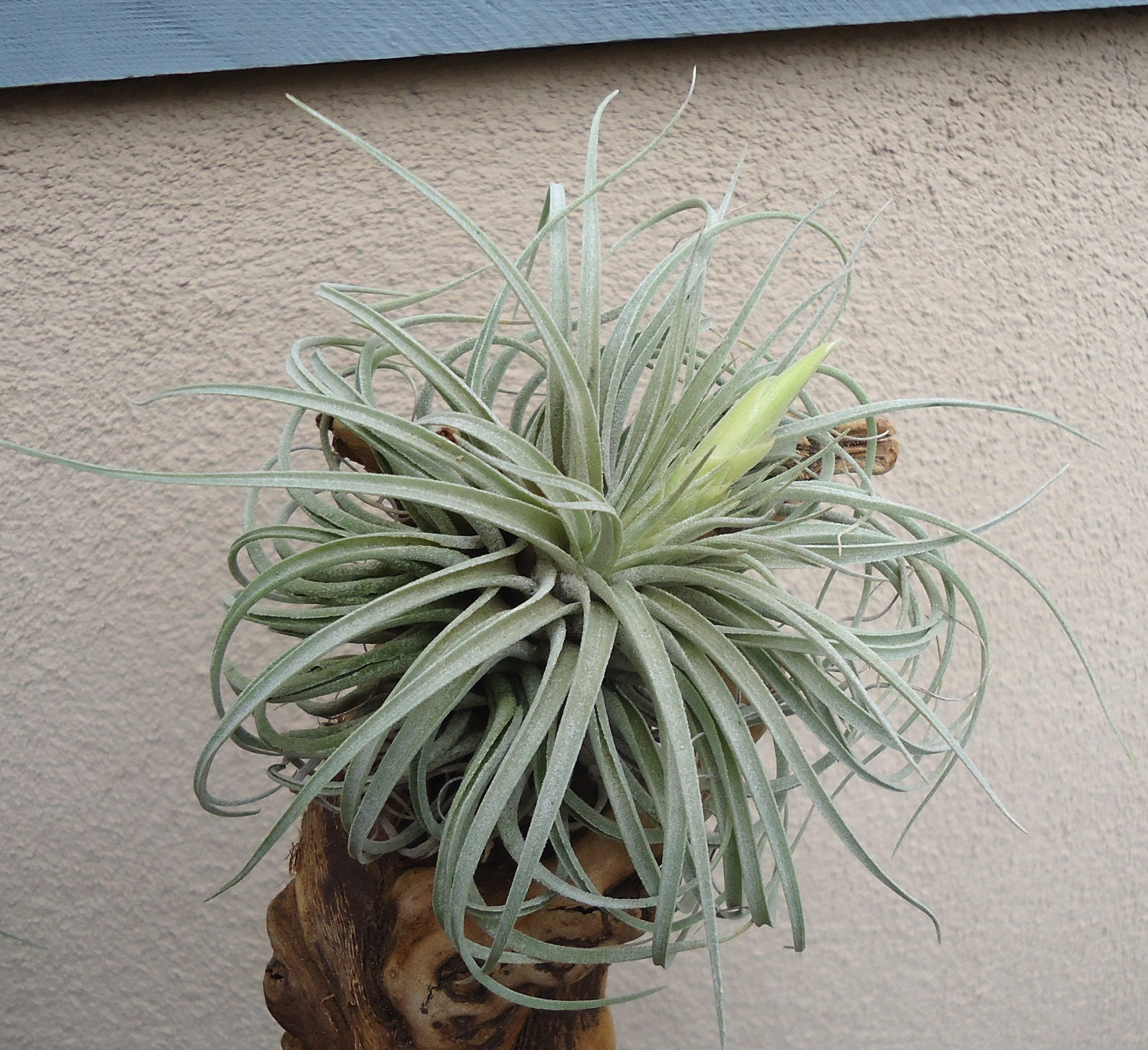 Large tillandsia oaxacana air plants from ctsairplants on for Air plant planters
