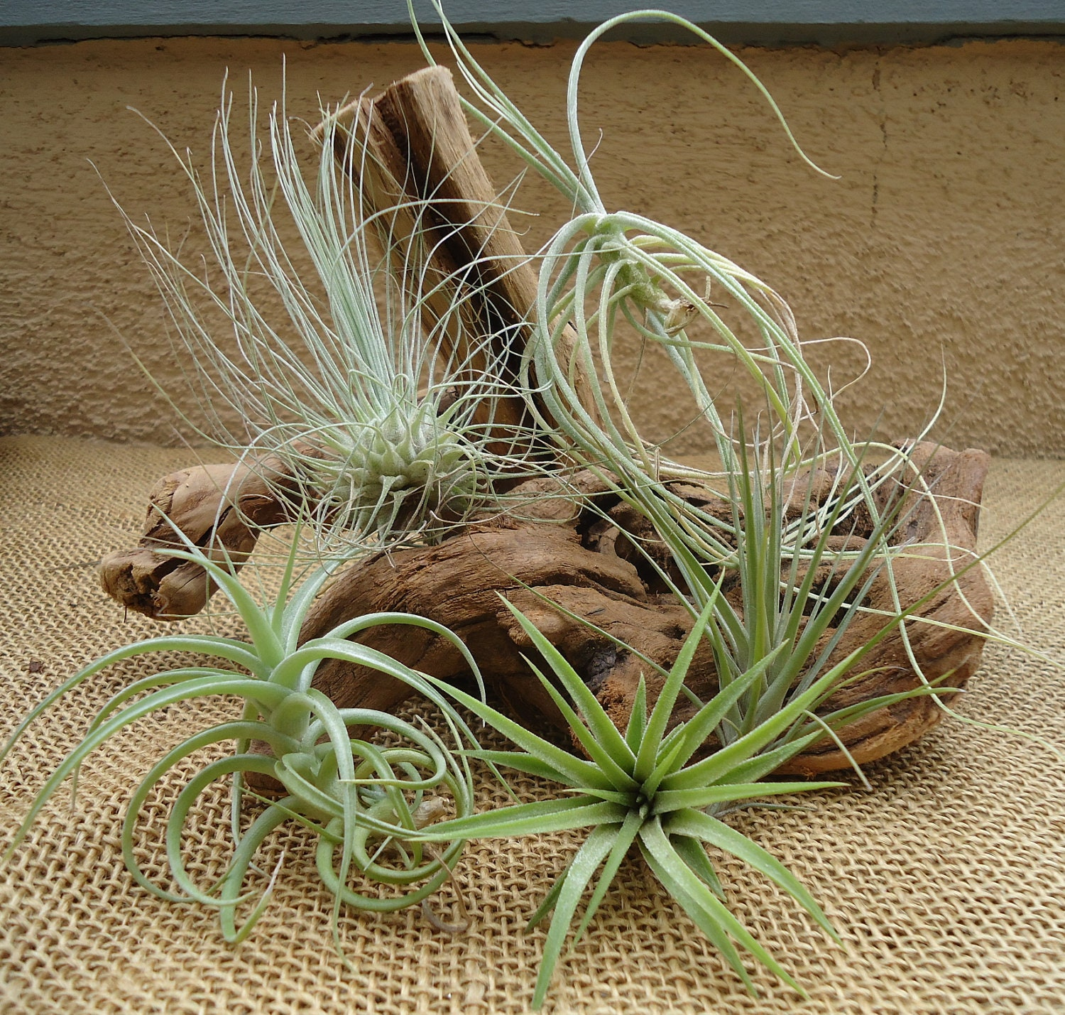 5 pack assorted tillandsia air plants for Cheap air plants