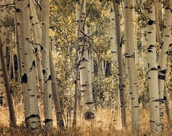 Aspen trees in fall colors sepia fine art photograph print 11x14