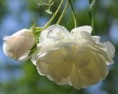 Heirloom 300 Climbing Rose Seeds Climber Pure White Perennials Flower Bulk Double B3600