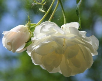 Heirloom 300 Climbing Rose Seeds Climber Pure White Perennials Flower Bulk Double B3600
