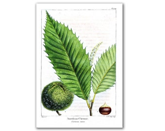 American Chesnut Tree, vintage illustration printed on parchment paper, nursery room, nursery art, educational board. Buy 3 and get 1 FREE