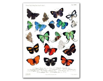 "13x17"" Butterflies Educational board, vintage illustration printed on Parchment paper, Nursery room decor, Butterfly Natural History"