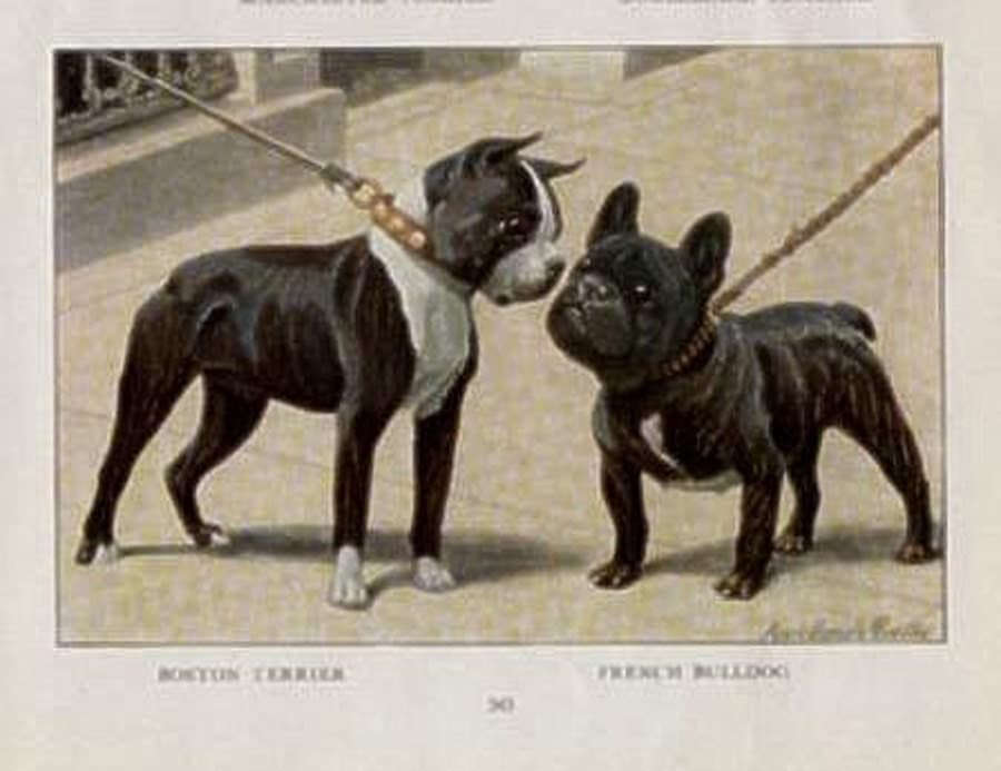 Boston Terrier incontr...