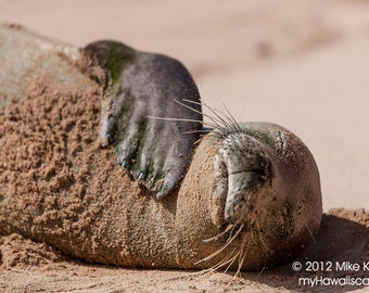 A Hawaiian Monk Seal Gets Some Sun While Lying on the Beach on Kauai in Hawaii