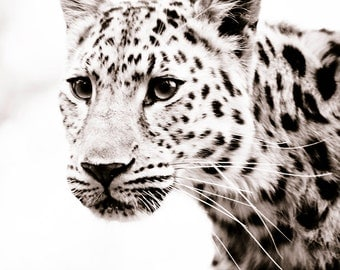 Leopard Wall Art, Fine Art Sepia Photograph, Animal Photography - Monochrome Home Decor Photos 11x14