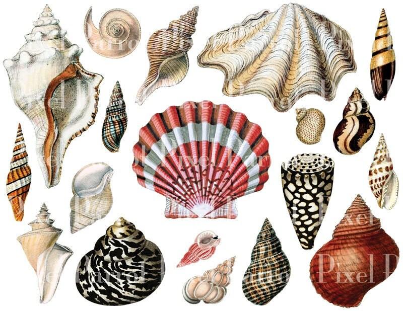 Clip Art Seashells Clipart seashell clipart etsy seashells instant download digital collage sheet 006