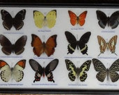 REAL 12 BEAUTIFUL BUTTERFLIES Collection Framed/BF16n