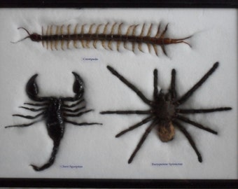 Real spider centipede scorpion collection Taxidermy framed/IS35