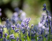 Bluebells Photograph, Fine Art Photo, Spring Woodlands, Flowers, Cards also available
