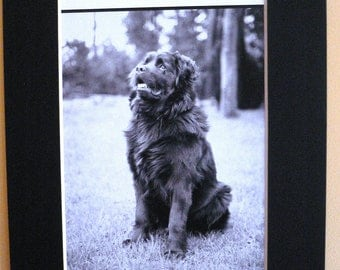 NEWFIE DOG PRINT Mounted Beautiful Newfoundland Newfie dog book plate looking to his master Unique Christmas Thanksgiving Birthday dog gift