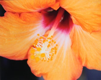 8 x 10 matted photograph. Orange Hibiscus, tropical flower