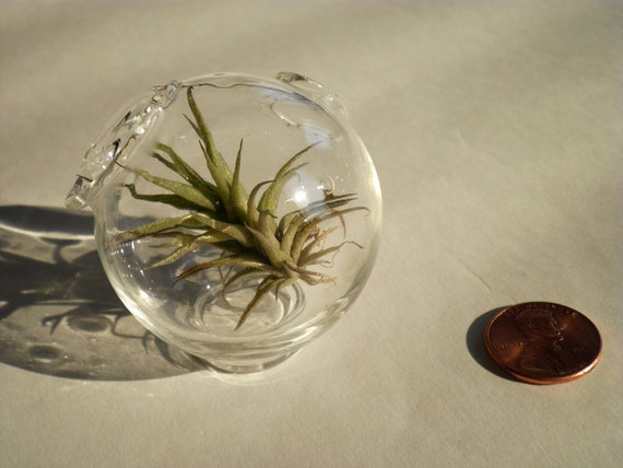 Small Air Plant Mooncrater with Air Plant