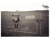 Trespassers Prosecuted. Cow behind gate, in a field black and white photographic print.