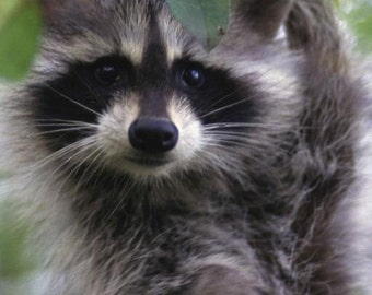 Racoon Face Cross Stitch Pattern - Close-up Photo - Vintage  Image