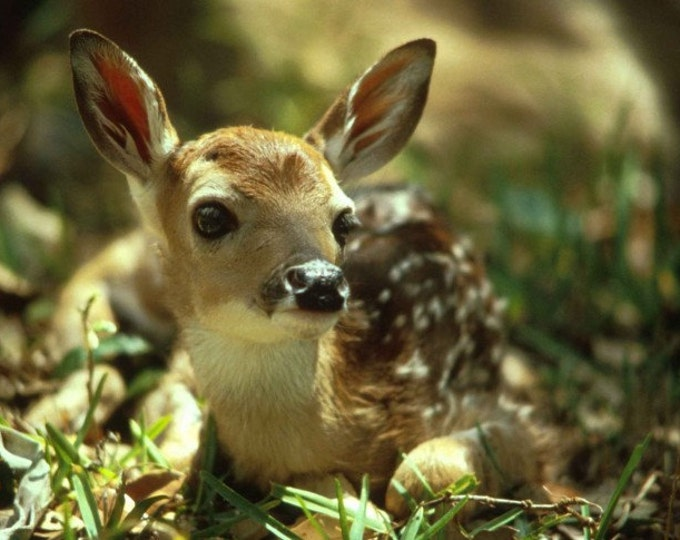 Close-up Photo  Of  A Cute Fawn Deer  - Cross Stitch Pattern from a Vintage Photograph -  Fine Art Photography
