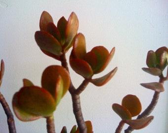 LARGE SUCCULENT CUTTINGS - Crassula Ovata, Jade Plant, Centerpiece, Bonsai