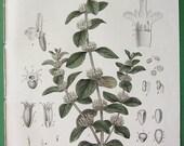 WHITE HOREHOUND Marrubium vulgare Flower Plant - 1858 Botanical H/C Hand Colored Antique Print