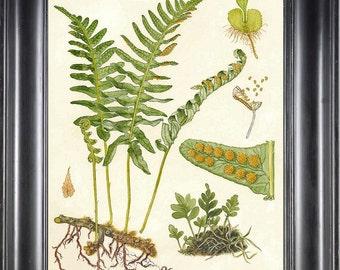 FERN PRINT Lindman 8X10 Botanical Art Print 1 Antique Beautiful Green Fern Forest Summer Nature to Frame Home Decor