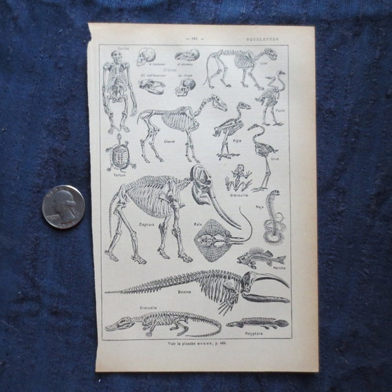 """1925 French Dictionary page """"Squelettes"""" - Skeletons of Animals - Man, Elephant, Turtle, MantaRay, Horse and others"""