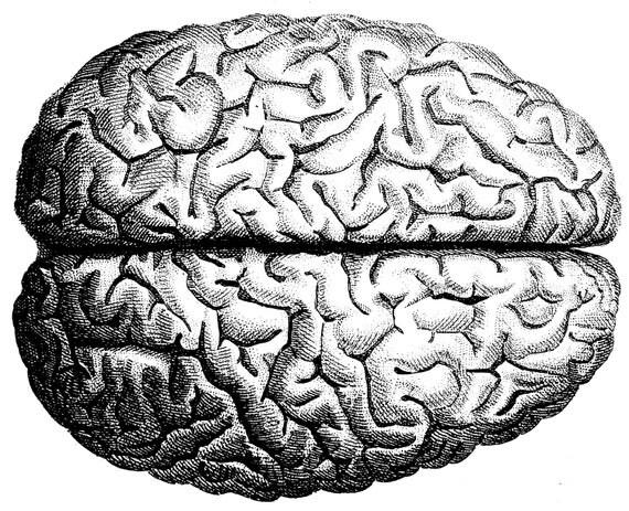 Line Art Brain : The human brain anatomy skull old medical