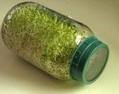 BULK 500 Seeds, Alfalfa Sprouting Seeds, Nutritious Too