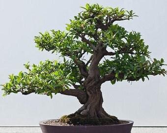 Japanese Bonsai Dwarf Pomegranate Seeds, Flowering Fruit Tree, Office Decor