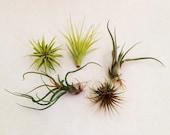 Air Plants. Tillandsias. Assorted. Set of 5.