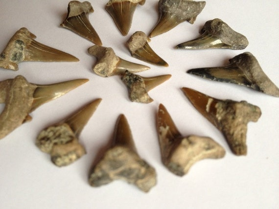 Fossil shark teeth, Quaternary, Australian sharks, jewellery supplies or fossil collection