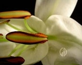 Fine Art Photography . White Lily