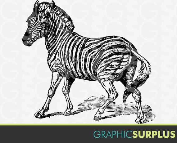 Zoo Line Art : Items similar to vintage clip art baby zebra zoo animals