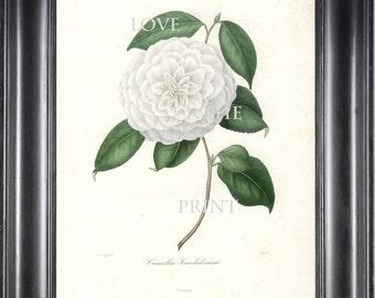 CAMELLIA PRINT Berlese  Art Print 11 Beautiful White Camellia Candidissima Spring Summer Flower Garden Botanical Print