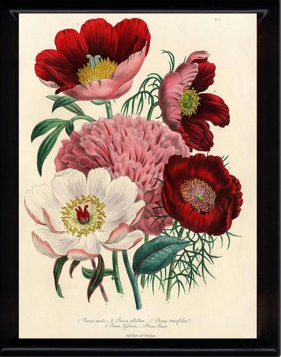 BOTANICAL PRINT Loudon Flower  Botanical Art Print 1 Beautiful Peony Peonies Bouquet Paeonia albilflora Pink White Red Spring Garden