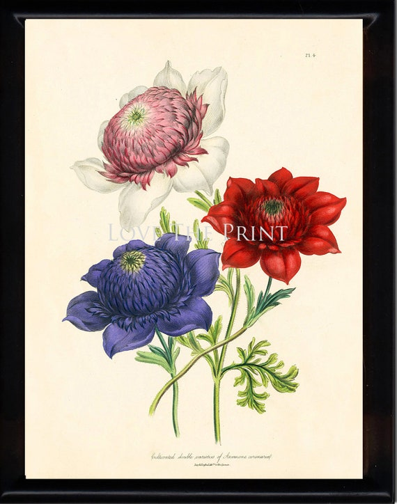 BOTANICAL PRINT Loudon Flower 8x10 Botanical Art Print 54 Beautiful Antique Anemone Red Pink Violet Flowers to Frame