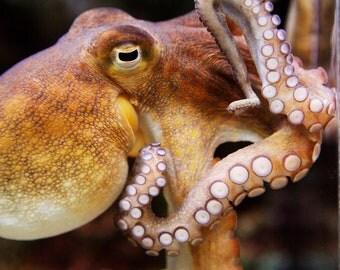 Fine Art Photography- Octopus-Animal-Marine Life-Aquarium-Sea-8x10-8x12-Art Print-Home Decor-Zoo-Brown