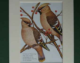 Print Of Waxwings - Birds - Picture - Red Berry Bush - Ornithology - Winter - Matted - Pair - Plumage - Nature - Mounted - Couple